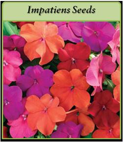 impatiens-seeds.png