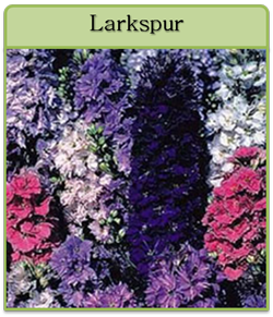 Larkspur Cut Flower Seeds