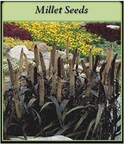 millet-seeds.png
