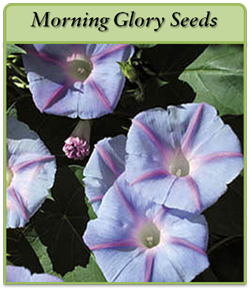morning-glory-seeds.png