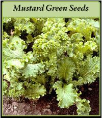 mustard-green-seeds-logo.png