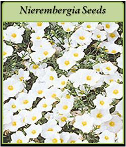 nierembergia-seeds.png