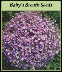 p-babys-breath-seeds-logo.png
