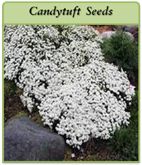 p-candytuft-seeds-logo.png