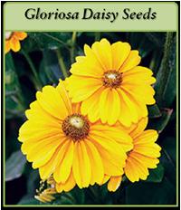 p-gloriosa-daisy-seeds-logo.png