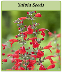 salvia-seeds-logo.png