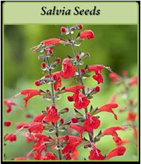 salvia-seeds-logo.png