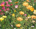 Arizona Wildflower Seeds