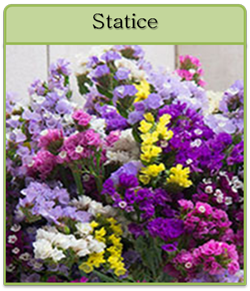 Statice Cut Flower Seeds