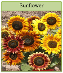 Sunflower Cut Flower Seeds
