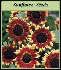 sunflower-seeds-logo.png