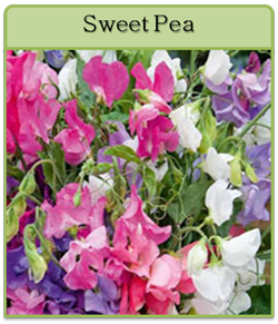 Sweet Pea Cut Flower Seeds