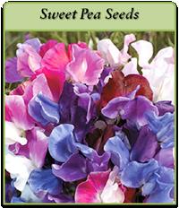 sweet-pea-seeds-logo.png