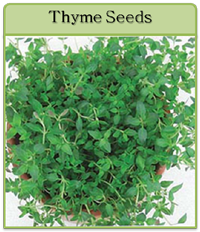 Thyme Seeds