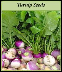 turnip-seeds-logo.png