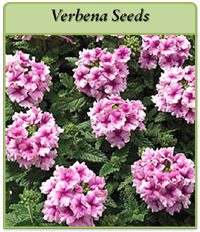 verbena-seeds-logo.png