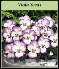 viola-seeds-logo.png
