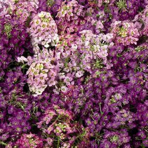 Wonderland Mix Alyssum Seeds
