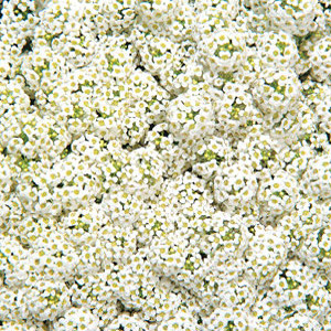 Wonderland White Alyssum Seeds
