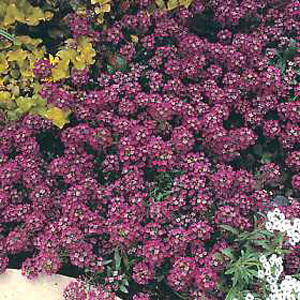 Rosie O'Day Alyssum Seeds