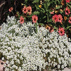 New Carpet of Snow Alyssum Seeds