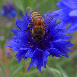 Blue Boy Bachelor's Button Seeds-Cornflower