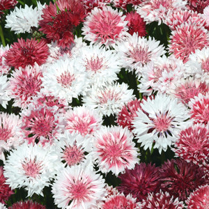 Classic Romantic Bachelor's Button Seeds