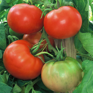 Free Heirloom Red Tomato Seeds for the Unemployed