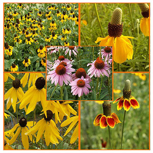 Coneflower Power Wildflower