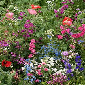 Shade Tolerant Wildflower