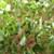 Arugula Micro Greens Organic Sprouting Seeds