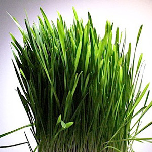 Oat Grass Organic Sprouting Seeds
