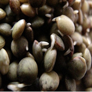 Lentil French Organic Sprouting Seeds