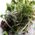 Spicy Hot Salad Mix Organic Sprouting Seeds