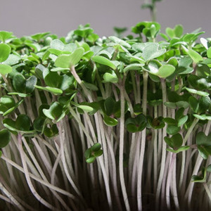 Mustard Greens Organic Sprouting Seeds