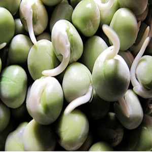Pea Green Organic Sprouting Seeds
