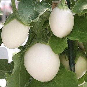 Container Patio Eggplant Ivory