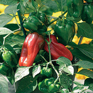 Container Patio Redskin Pepper