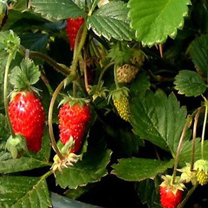 Container Patio Mignonette Strawberry