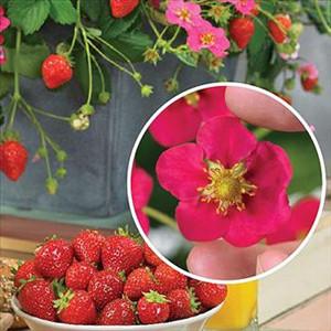Toscana ABZ Strawberry