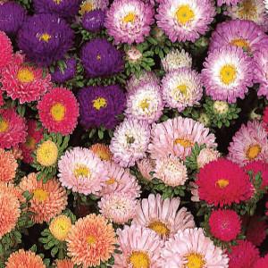 Matsumoto Mix Aster Seeds