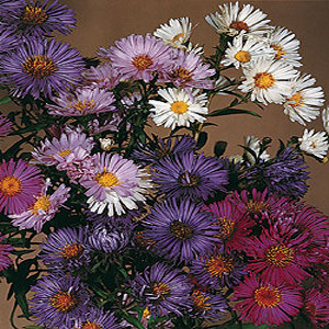 Benary's Mix Aster Seeds