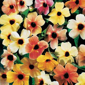 Sunrise Surprise Black Eyed Susan Seeds