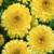 Bon Bon Light Yellow Calendula Seeds