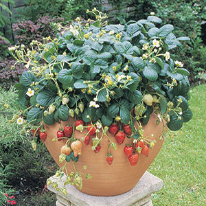 Container Patio Temptation Strawberry