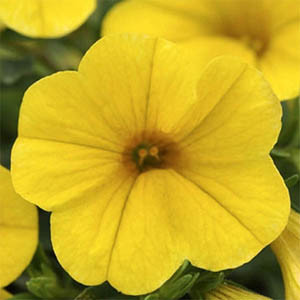 Calibrachoa-Kabloom Yellow Seeds