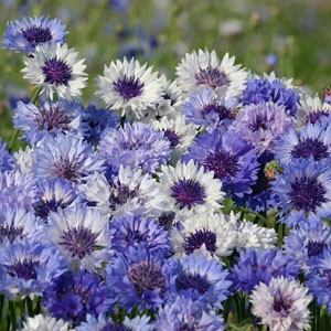Classic Fantastic Bachelor's Button Seeds-Cornflower