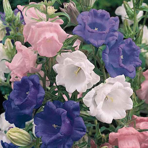 Cup And Saucer Campanula Mix Seeds