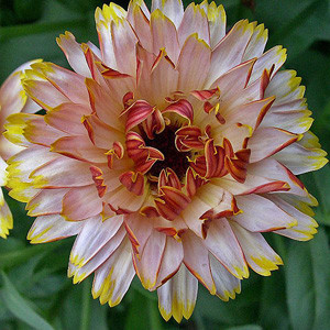 Solar Flashback Mix Calendula Seeds