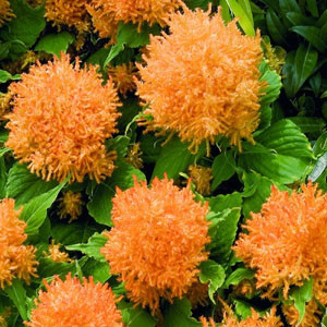 Fresh Look Gold Celosia